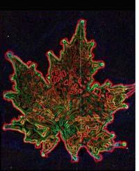 Kirlian Maple leaf print